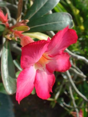 adenium obesum: Adenium obesum flower