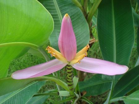 musa: Musa acuminata young flower