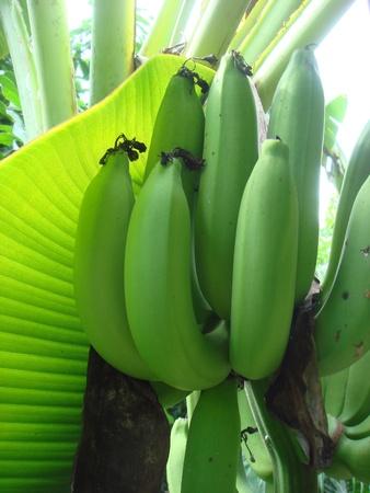 unripe: Musa acuminata unripe bananas Stock Photo