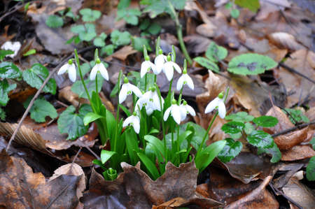 snowdrops: Snowdrops in the forest