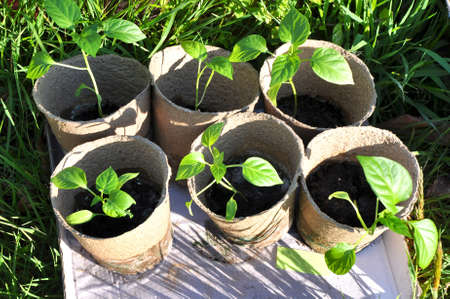 peat pot: Seedling of bell pepper in peat pots. Russia Stock Photo