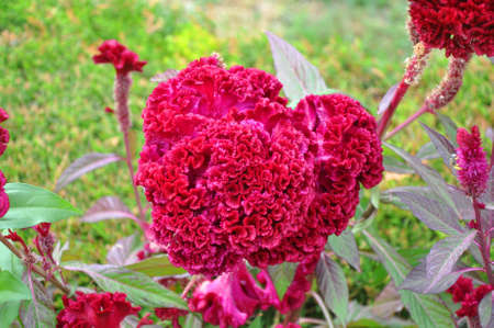 Celosia argentea on the flowerbed
