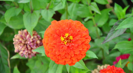 Flower of a zinnia on a flowerbed