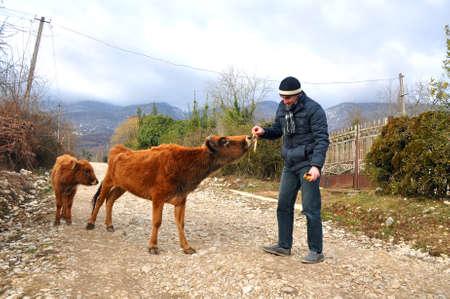 A man is feeding a cow with a banana peel. OTKHARA, ABKHAZIA