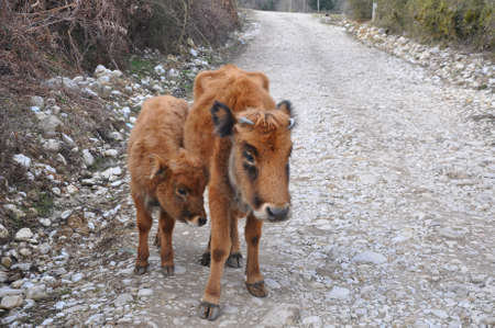 A red cow and calf stand on a dirt road