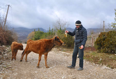 OTKHARA, ABKHAZIA  - JANUARY 28, 2017: A man stands on a dirt road and feeds a cow to a banana peel