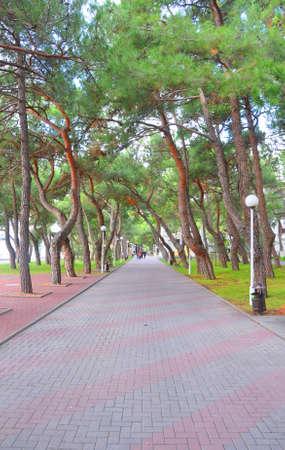 Pitsundskaya pine (Pinus brutia var. Pityusa) on Lermontov Boulevard. Gelendzhik. Russia