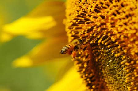 bee swarm: bee swarm sunflower
