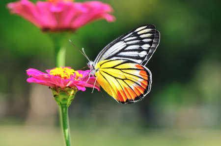Painted Jezebel butterfly swarm pink flower Stock Photo - 8570595