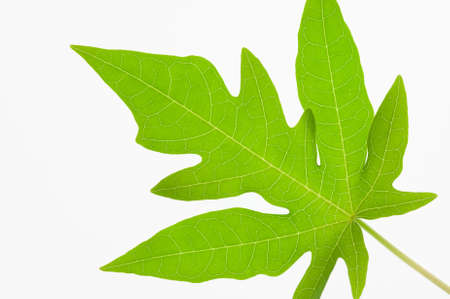 Close up papaya leaf show details of the leaves isolated on white background Stock Photo