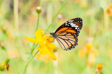 mariposas amarillas: la mariposa monarca en la flor amarilla
