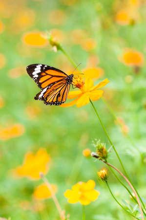 monarch vlinder op gele bloem Stockfoto