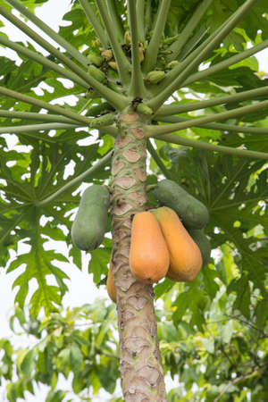 green and yellow papaya on plant