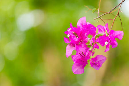 Pink bougainvillea flowers against green background Stock Photo