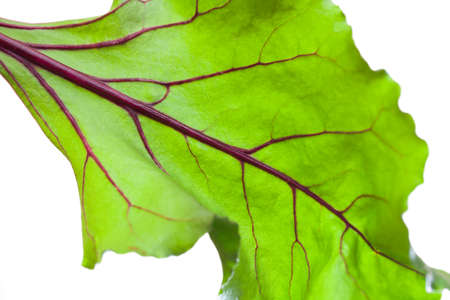 Beetroot Leaves Beetroot Leave on White