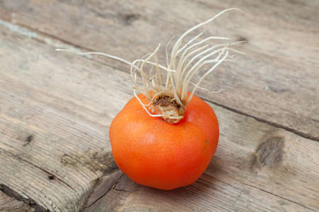 mutant: Mutant tomato on vintage wooden boards