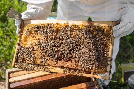 Beekeeper looking after bees and preparing for honey by maintaining the beehive photo