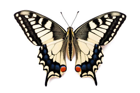 Butterfly Papilio machaon (Common Yellow Swallowtail) on the white background.