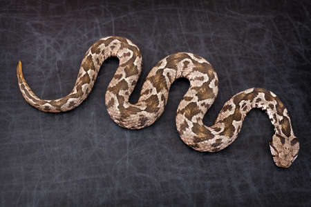 Common viper snake isolated on black  photo
