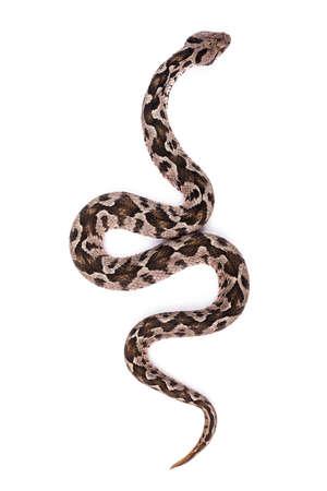 snake eyes: Common viper snake isolated on white  Stock Photo