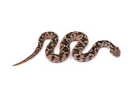 一般的な毒蛇蛇白で隔離 写真素材