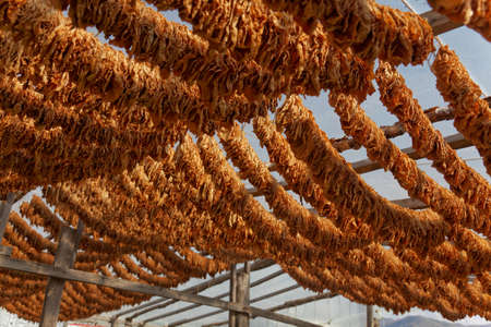 Classical way of drying tobacco. Hanging under the sun, threaded on cord photo