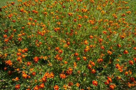 asterids: Red orange flowers in the garden of green grass