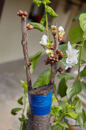 Fruit tree twigs grafted on a tree trunk. Grafting cherry tree over a plum tree Stock Photo