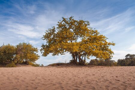 suelo arenoso: big majestic tree with green yellow and orange leaves in sandy soil landscape, dunes panorama blue sky Foto de archivo