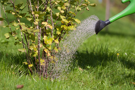 A person is pouring a shrub that has already dried a bit with a watering can