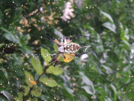 Grote Gele Tuin Spider