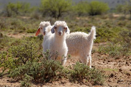 mohair: Two young Angora goats in the Karoo, Western Cape, South Africa.