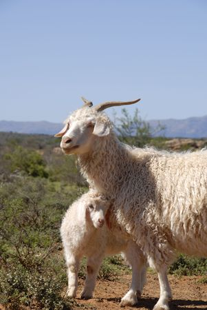 mohair: Adult Angora with cute new born lamb.