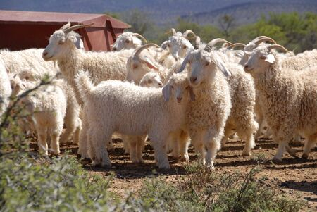 A flock of Angora goats in the Karoo, Western Cape, South Africa photo