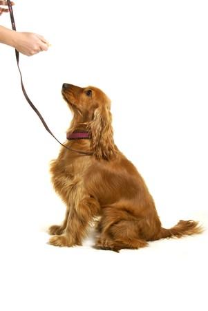 obedience: Un perro para sentarse con alimentos de ense�anza Foto de archivo