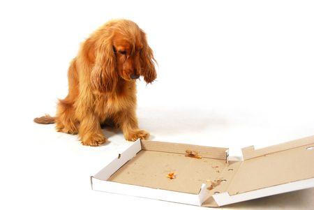 Teleurgesteld puppy stearing in een lege pizza doos Stockfoto