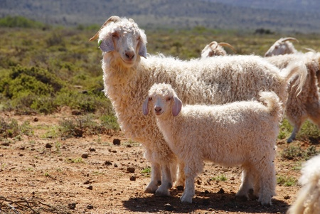 Angora goat mother with her kid seperate from the herd photo