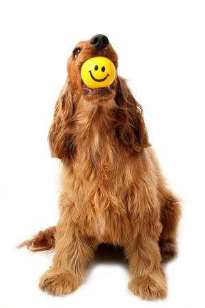 atrapar: Cocker Spaniel con bola de rostro sonriente en su boca