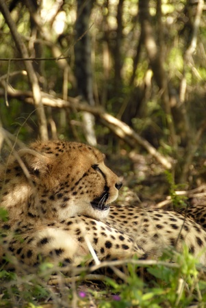 Female cheetah resting under a tree in a natural environment photo