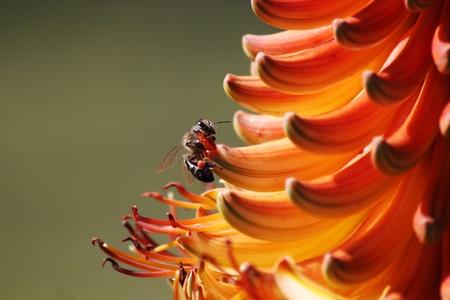 aloe flower: Bee collecting pollen on an aloe flower