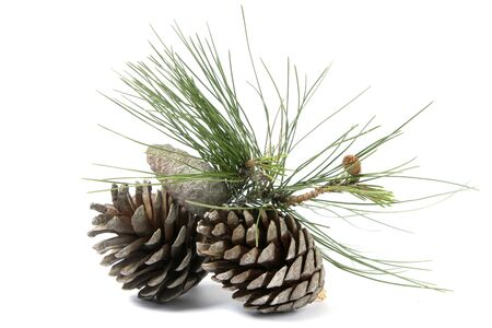 pinecone: Two pine cones with a piece of a pine tree over white
