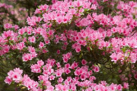 azaleas: Pink Azalea bush with many flowers filling the whole frame