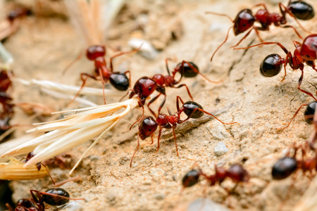 Strong jaws of red ant-close-up