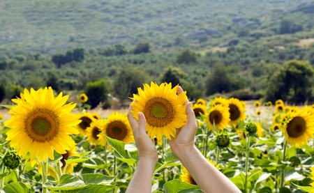 cultivated: sunflower field Stock Photo
