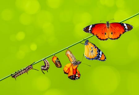 Momento asombroso, mariposa monarca, pupas y capullos suspendidos. Transformación de concepto de Butterfly
