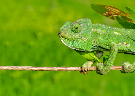 Macro shots, Beautiful nature scene green chameleon