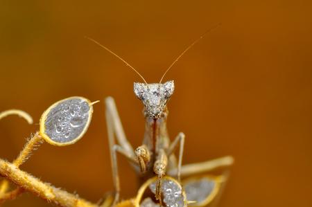 Beautiful European mantis (Mantis religiosa)