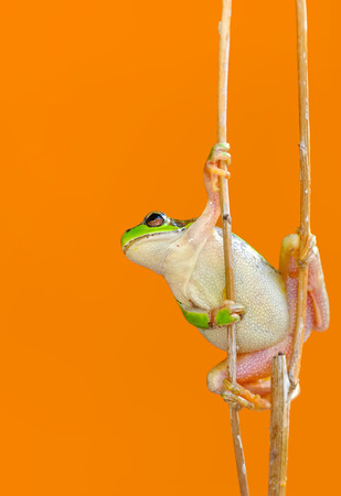 Sign In Beautiful Europaean Tree frog Hyla arborea - Stock Image