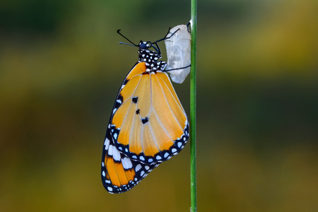 Amazing moment, Monarch butterfly emerging from its chrysalis