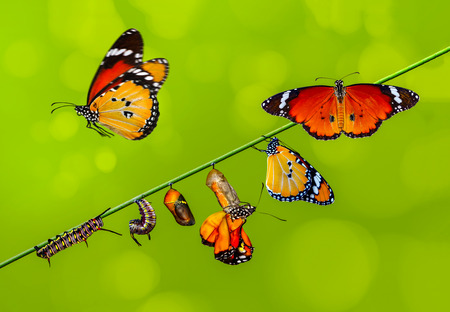 Amazing moment, Monarch Butterfly, pupae and cocoons are suspended. Concept transformation of Butterfly Stockfoto
